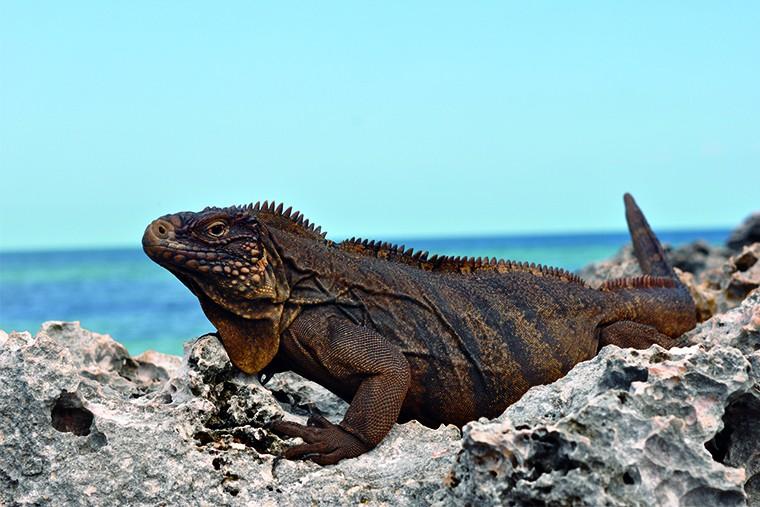 Куба остров свободы Игуана 2