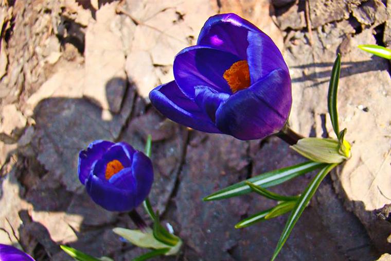 Первые цветы в парках in