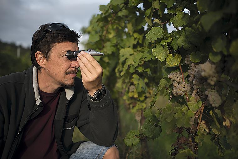 Основатель винного дома Ca'Botta Юрий Каботов измеряет концентрацию сахара в винограде Рислинг перед его сбором