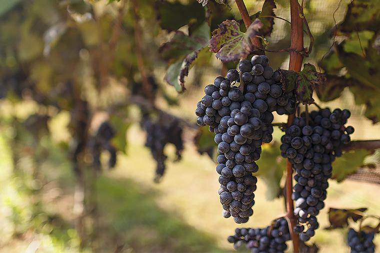 Виноград Ca'Botta зреет под лучами солнца Италии